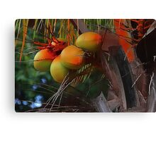 Coconut Palm Tree and Coconuts Canvas Print