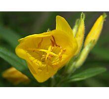 Evening primrose Photographic Print