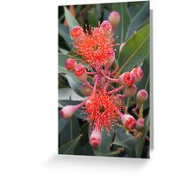 Starburst - Western Australian Flowering Gum Greeting Card