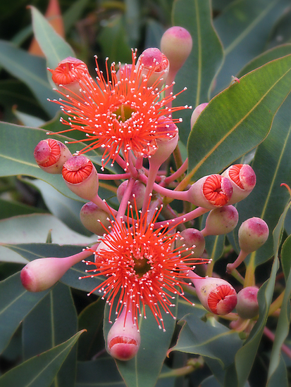 Starburst - Western Australian Flowering Gum by Robert Jenner