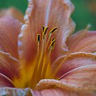 Lily by Roxane Bay