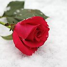 A rose on the snow by Agnes McGuinness