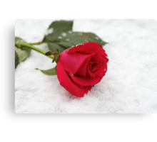 A rose on the snow Canvas Print