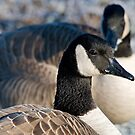 Profile of a Canada Goose by Bryan Peterson