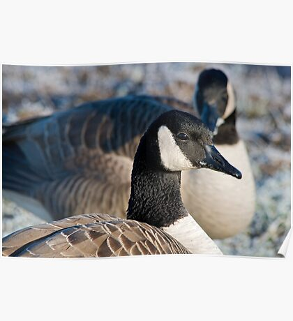 Profile of a Canada Goose Poster