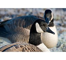 Profile of a Canada Goose Photographic Print