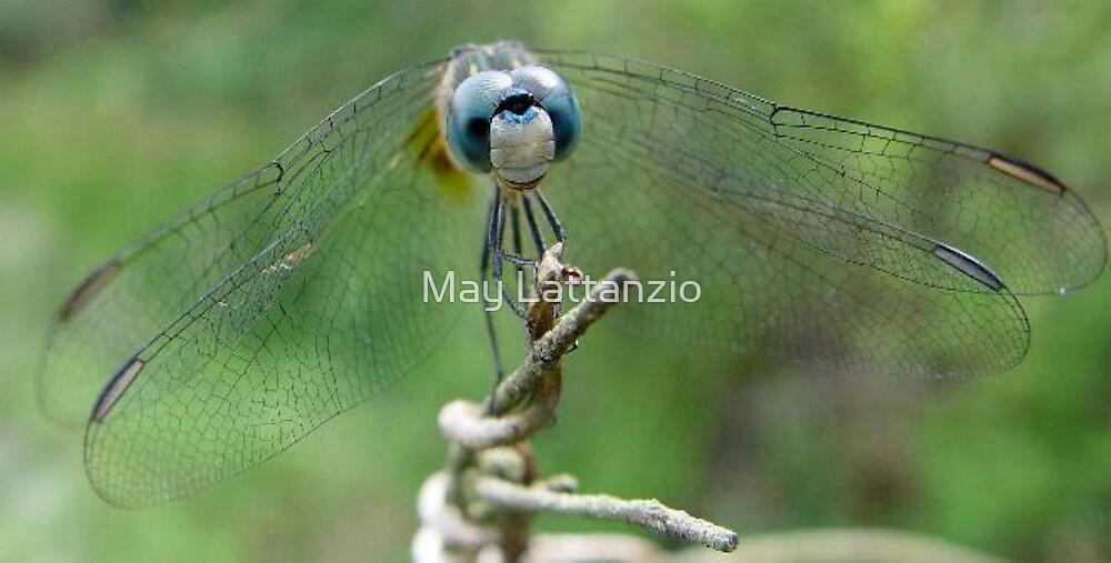 Blue Dasher by May Lattanzio