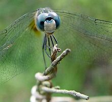 Blue Dasher by May Lattanzio