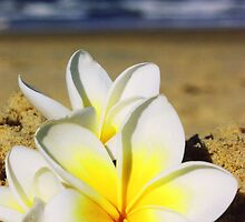 Frangipani on the beach by Cydell