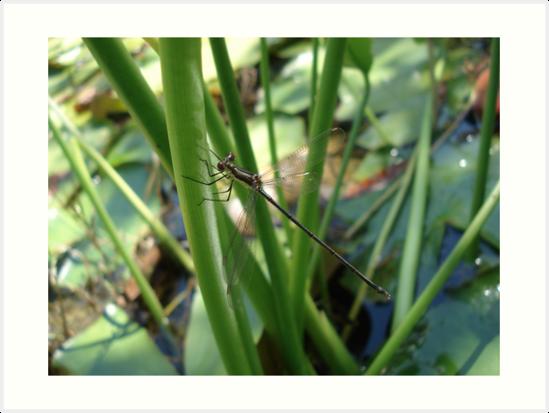Swamp Spreadwing by May Lattanzio