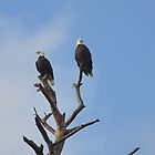 Bald Eagles in a Tree by meinvb