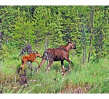 Quetico Moose Photographic Print
