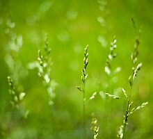 Delicate Tall Summer Grass with Seed Clusters by davidpurcell