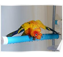 Sunshine Shower Time - Sun Conure - NZ Poster