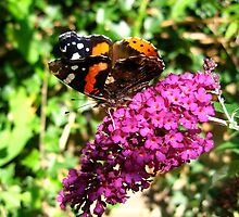 Red admiral butterfly on buddleia by sueblue