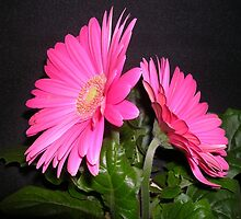 A Gerbera For Mothering Sunday by lezvee