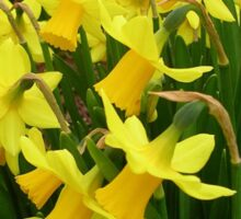 """A Host Of Golden Daffodils"" Sticker"