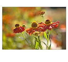 Helenium ' Moorheim beauty' by Chris Lawrenson