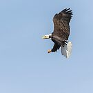 American Bald Eagle 2015-24 by Thomas Young