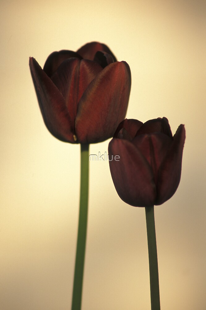 Queen of the Night Tulips by mklue