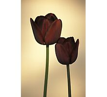 Queen of the Night Tulips Photographic Print