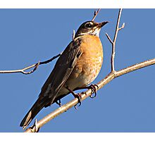 Proud to be  An American Robin Photographic Print