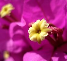 Bougainvillea Flower by Bethany Anderson