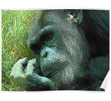 Contemplative Chimp Poster