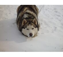 The Snow Croutch NC husky Photographic Print