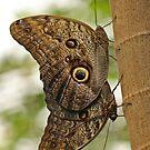 Owl Butterflies by Robert Abraham