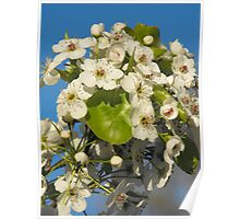 Apple Tree In Bloom Poster