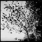 Acer by Paul Desmond