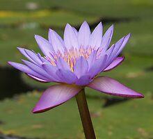 Lotus by Jonathan Dower