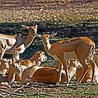 Blackbuck Female And Fawns by miroslava