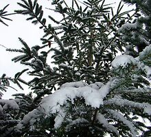 Snowy Doug Fir by threelittlefish