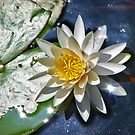 Water Lilly by sailorsedge