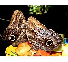 Owl Butterflies Photographic Print