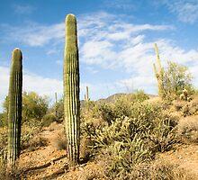 Hiking trail running through various cacti in the Arizona desert.  by David Jones