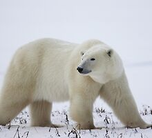Polar Bear on the Tundra, Churchill, Canada by Carole-Anne