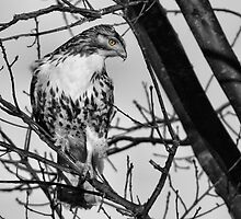 Hawk's Eye View by Joe Thill
