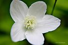 Wood Anemone II by Kathleen Daley