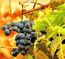 Grape Vines in Autumn by Tracy Engle
