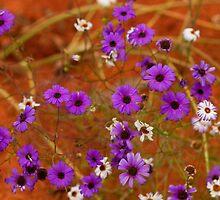 Purple daisies by Anna Calvert