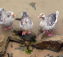 The Three Geese of Apollo Bay by Roz McQuillan