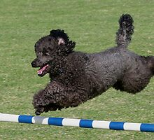 Poodle Jumping for Joy by Jenny Brice