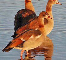 Egyptian Geese, Chobe National Park, Botswana by Adrian Paul