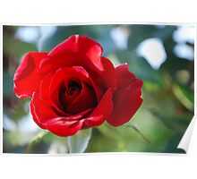 Luminescing red rose. Poster