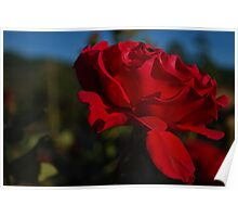 Velvety Red Rose  Poster