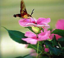 Hummingbird Moth by mklue
