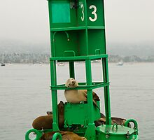 California sea lions resting on a Santa Barbara harbor buoy. by David Jones